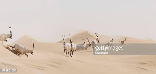 Heard of Oryx crossing desert, Sharjah, UAE