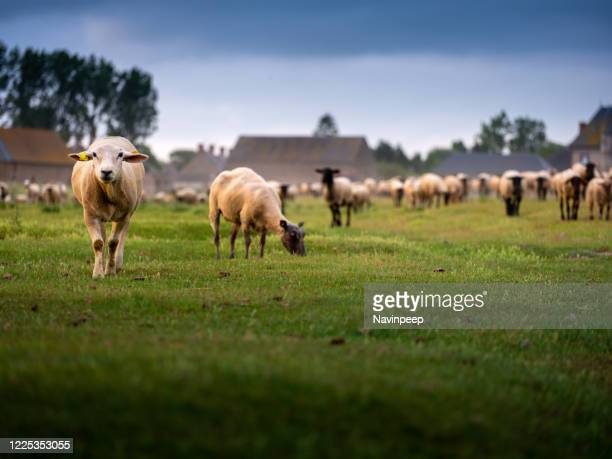 heard of sheep grazing in country side, normandy, france - cotentin photos et images de collection