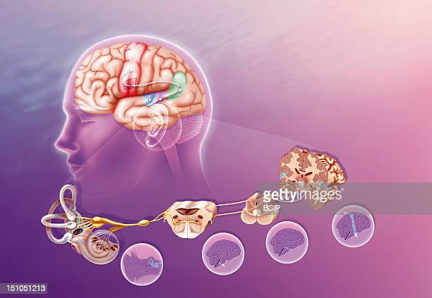 Hearing And Repeating How A Sound Arriving At The Cochlea Propagates Through The Brain By Way Of The Primary And Secondary Auditory Areas And Then...