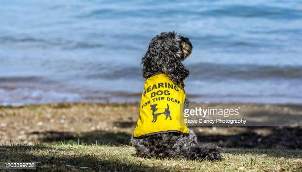 hearing dog - trained dog stock pictures, royalty-free photos & images