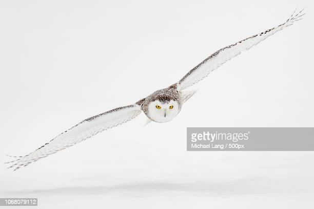 hearst, canada - snowy owl stock pictures, royalty-free photos & images