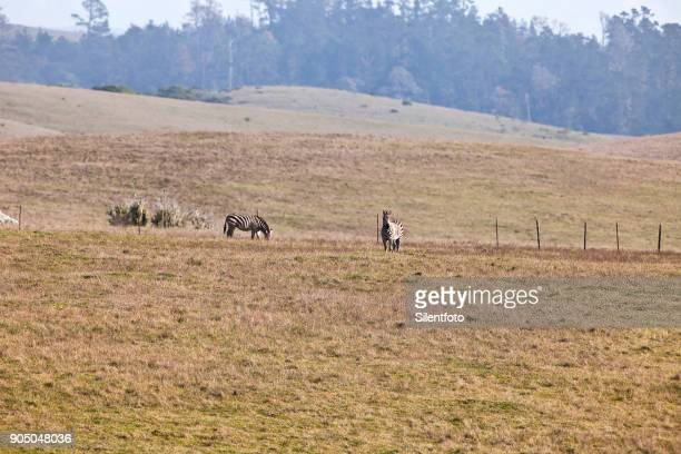 hearst ranch zebra, san simeon, california - hearst castle stock pictures, royalty-free photos & images