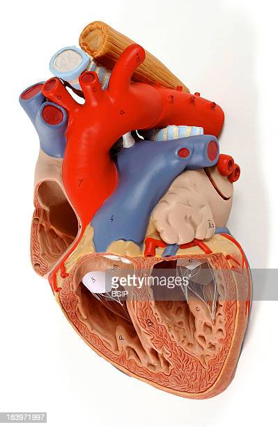 Interventricular Septum Stock Photos and Pictures | Getty Images