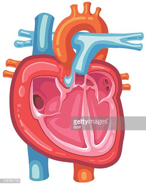 Heart Illustration Heart With The Superior And Inferior Vena Cavae The Right Atrium And The Tricuspid Valve The Right Ventricle And The Pulmonary...