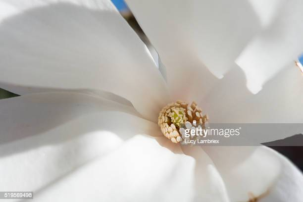 heart of a white magnolia flower - utc−10:00 stock pictures, royalty-free photos & images