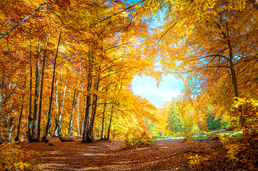 Heart of autumn - yellow orange trees in forest with heart shape, sunny weather, good day 1170896292