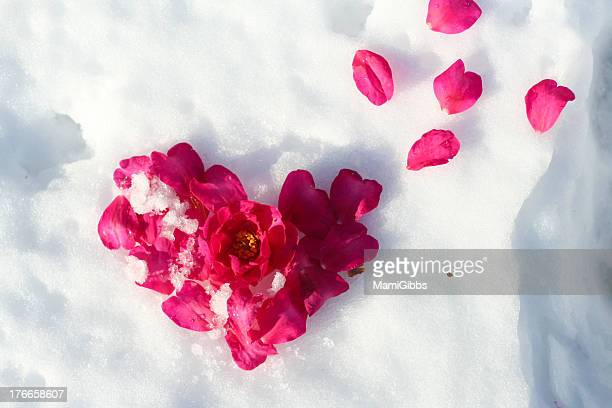 Heart of objects of camellia flower on snow