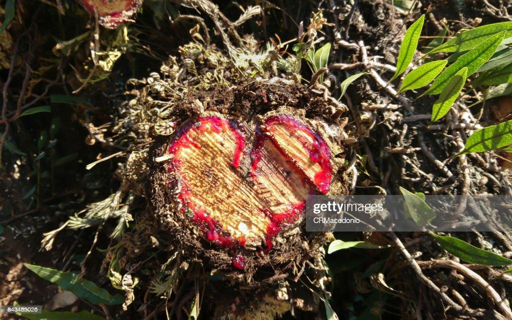 Heart of the tree. : Stock Photo