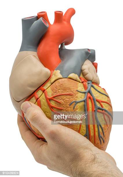 heart - abdominal aorta stock pictures, royalty-free photos & images