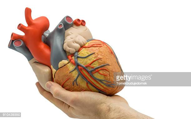 heart - human heart stock pictures, royalty-free photos & images
