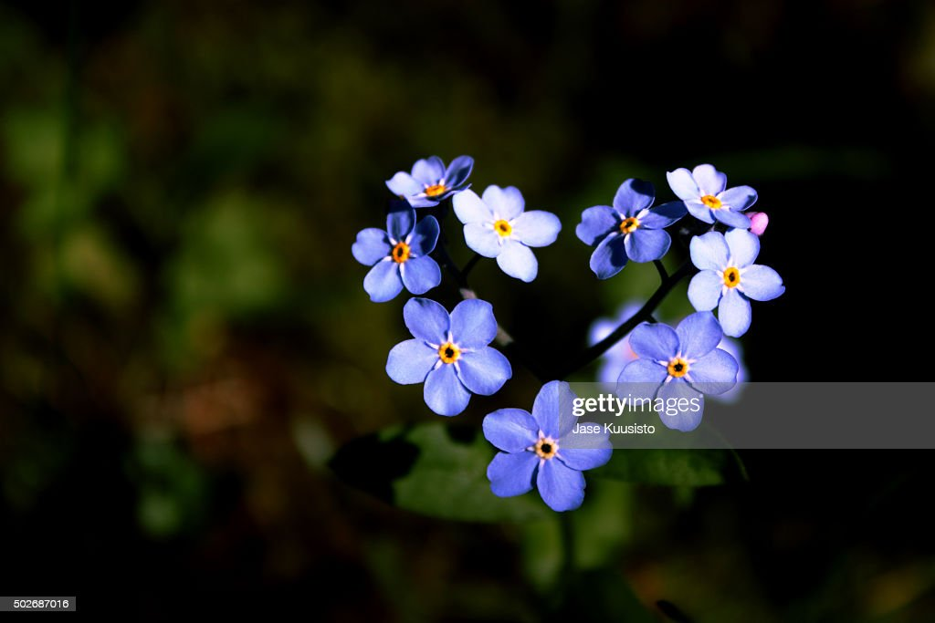 A heart shaped forgetmenot flower in the garden stock - Show me flowers ...