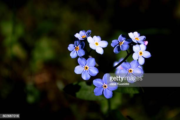 A Heart Shaped Forget-Me-Not Flower In The Garden