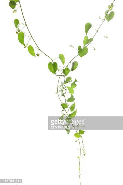 heart shaped green leaves against white background - vine plant stock pictures, royalty-free photos & images