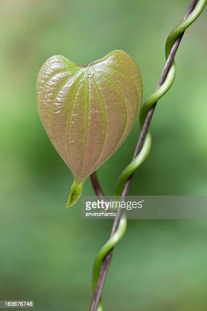 Heart shaped leaf of a creeper plant.