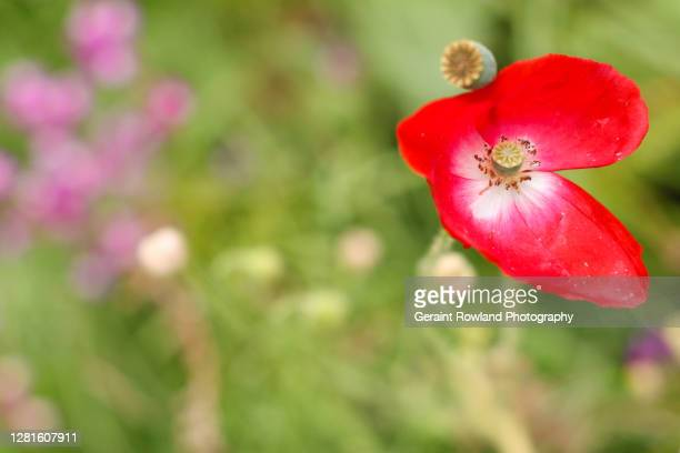 heart shaped poppy - love magazine stock pictures, royalty-free photos & images