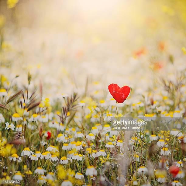 Heart shaped poppy