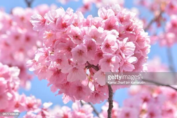 Heart shaped sakura