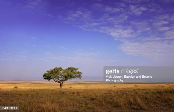 Heart Shaped Tree Against Blue Sky at Masai Mara