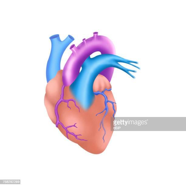 Heart,illustration