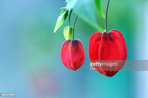 hearts - chinese lantern lily stock pictures, royalty-free photos & images