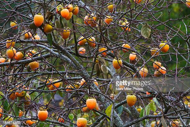 Heart-shaped fruits hanging on Persimmon tree in California