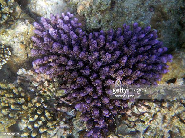 heart-shaped purple acropora millepora - animal internal organ stock photos and pictures