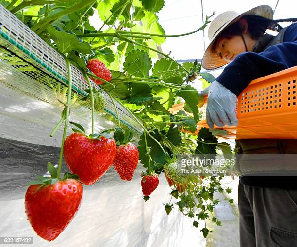 A Heartshaped strawberry are harvested ahead of Valentine's Day on January 31 2017 in Yanai Yamaguchi Japan The rare strawberry called 'Ichigokoro'...