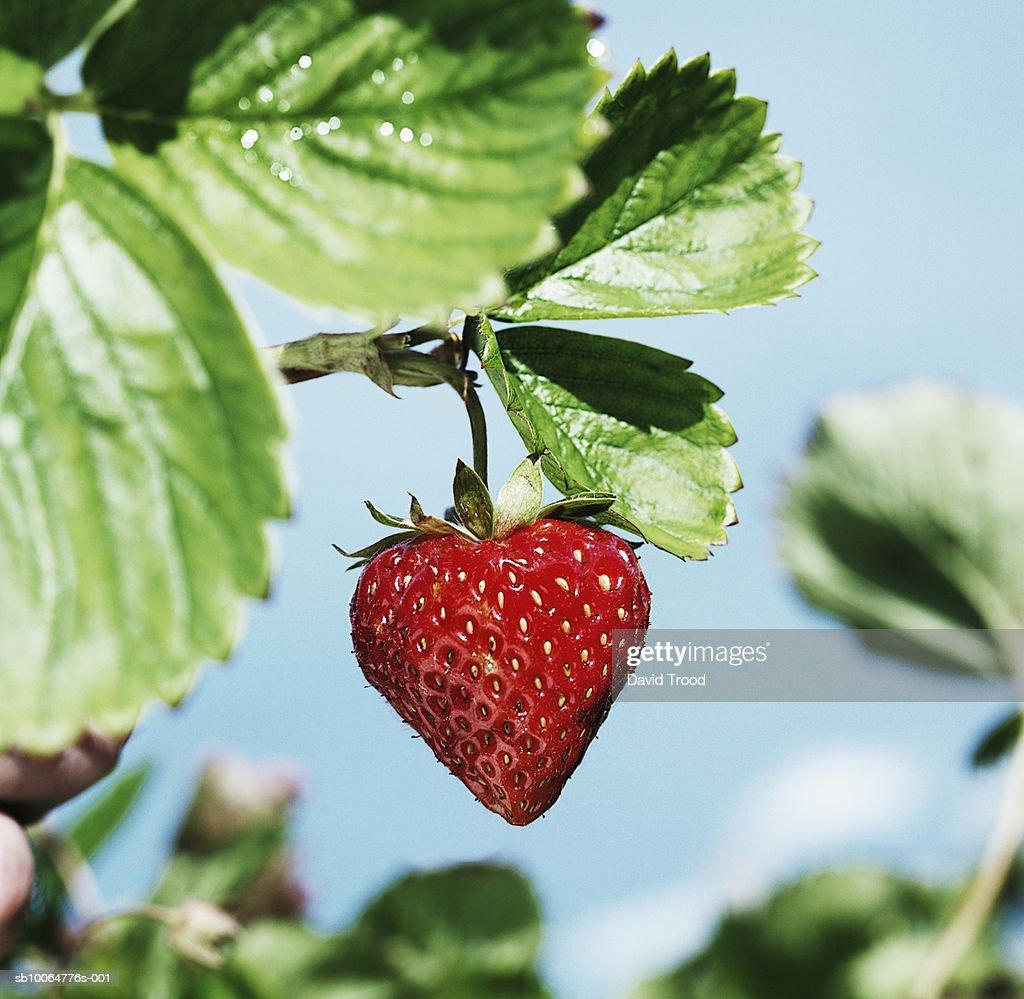 Heart-shaped strawberry on bush, close-up : Foto de stock