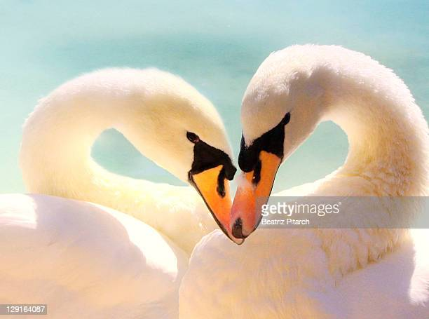 heart-shaped swans - swan stock pictures, royalty-free photos & images