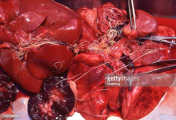 heartworm, dirofilaria immitis, in organs at necropsy - autopsy 個照片及圖片檔