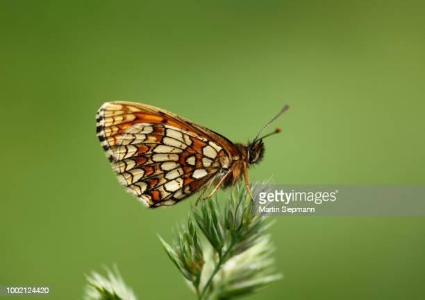 heath fritillary (mellicta athalia), austria - vista lateral stock pictures, royalty-free photos & images