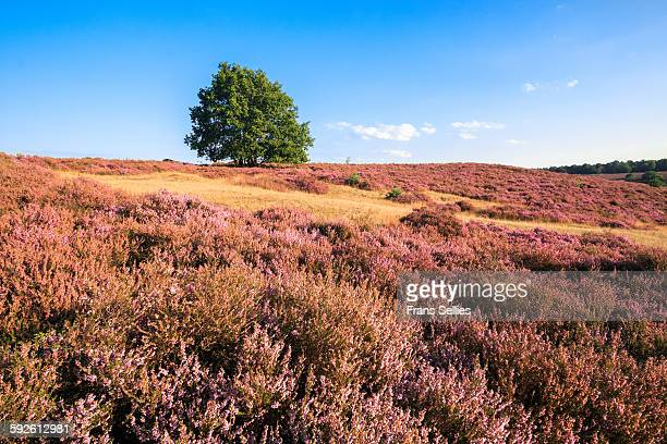 Heath landscape with lonely tree