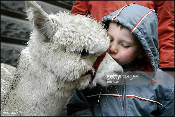 Heath Lawrence get to know Marius the Huacaya Alpaca who was at the Town Hall Forecourt as a foretaste of the show on 12th September 2005 THE AGE...