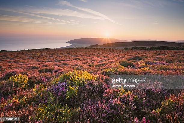 heather and gorse on porlock common looking towards porlock bay. exmoor national park. somerset. england. uk. - somerset england stock pictures, royalty-free photos & images