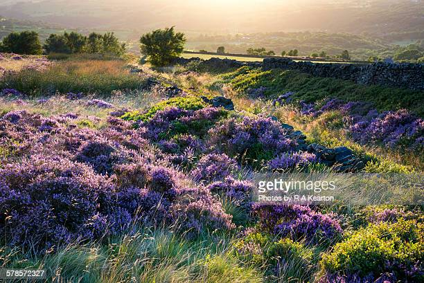 Heather bathed in light of a summer sunset