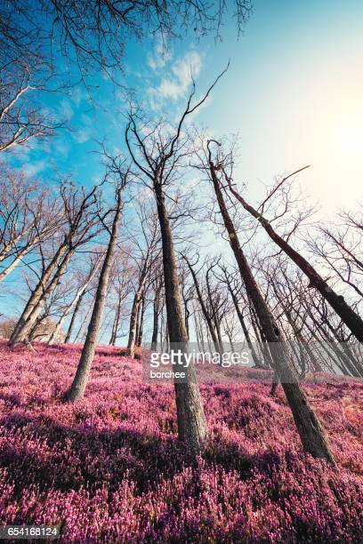 Heather Field In Spring Forest