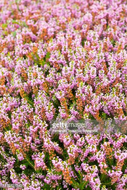 heather flower - flowering plant stock pictures, royalty-free photos & images