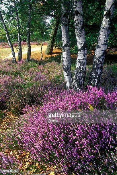 Heather flowering in heathland in summer in the nature park De Zoom Kalmthoutse Heide Antwerp Belgium