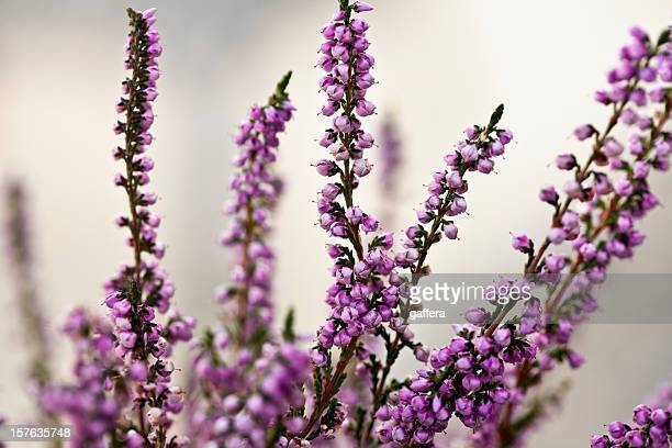 heather flowers - heather stock photos and pictures