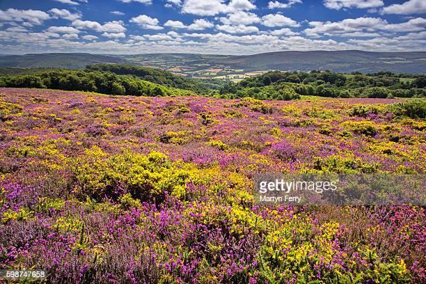 heather & gorse on bossington hill, exmoor national park - exmoor national park - fotografias e filmes do acervo