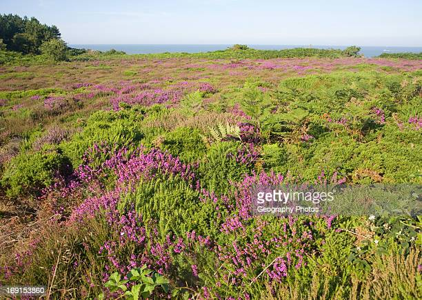 Heather in flower with view to sea on Dunwich Heath Suffolk England