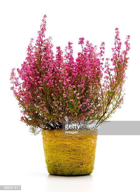 heather in pot