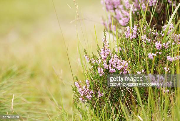 Heather in sunlight (Erica /Ericaceae)