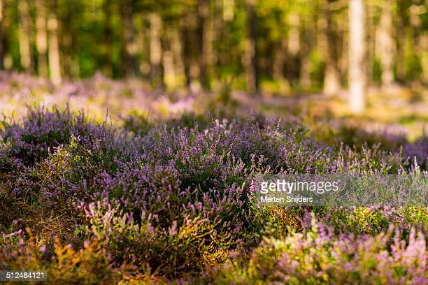 heather moorland around pine trees - merten snijders stock pictures, royalty-free photos & images