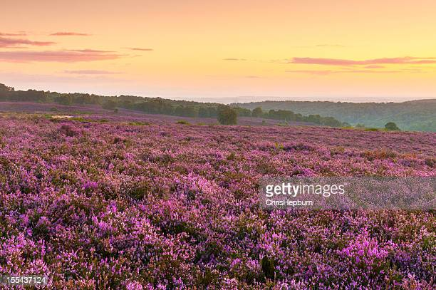 Heather Moorland Sunrise