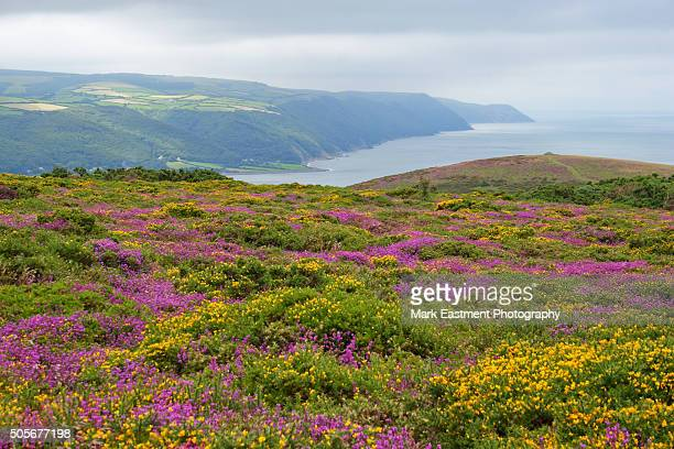 heather on exmoor - exmoor national park - fotografias e filmes do acervo