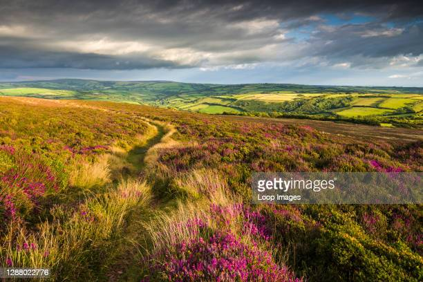 Heather on Holdstone Down in late summer in Exmoor National Park.