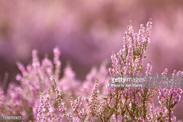 heather - pink stock pictures, royalty-free photos & images