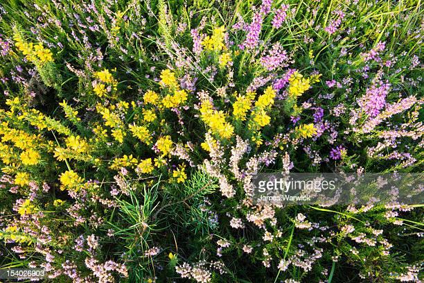 heather, scots pine sapling and dwarf gorse - barrväxter bildbanksfoton och bilder