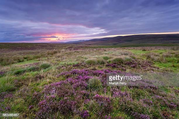 heather sunrise - exmoor national park 個照片及圖片檔